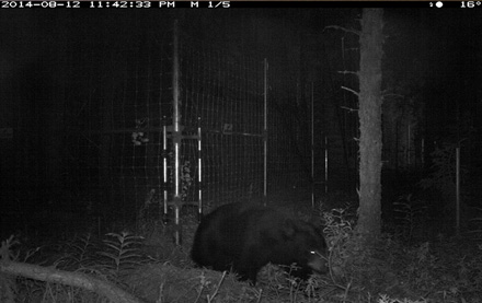 A bear is detected on the edge of a camp using a trail cam.